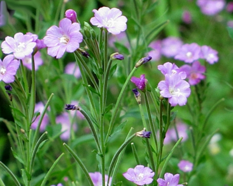 Kisvirágú füzike: a férfiak gyógynövénye